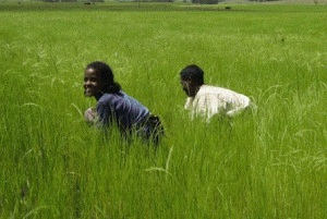 A field of teff in Ethiopia