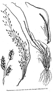 Zuccagni's drawing of teff (1775)
