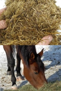 A horse enjoys some teff hay