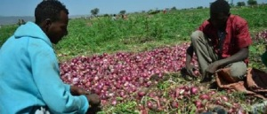 Onion farmers in Ethiopia with their harvest