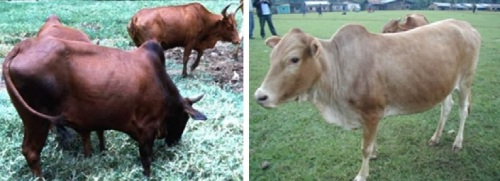 Two types of humped Ethiopian cattle: Horro (l) and Sheko